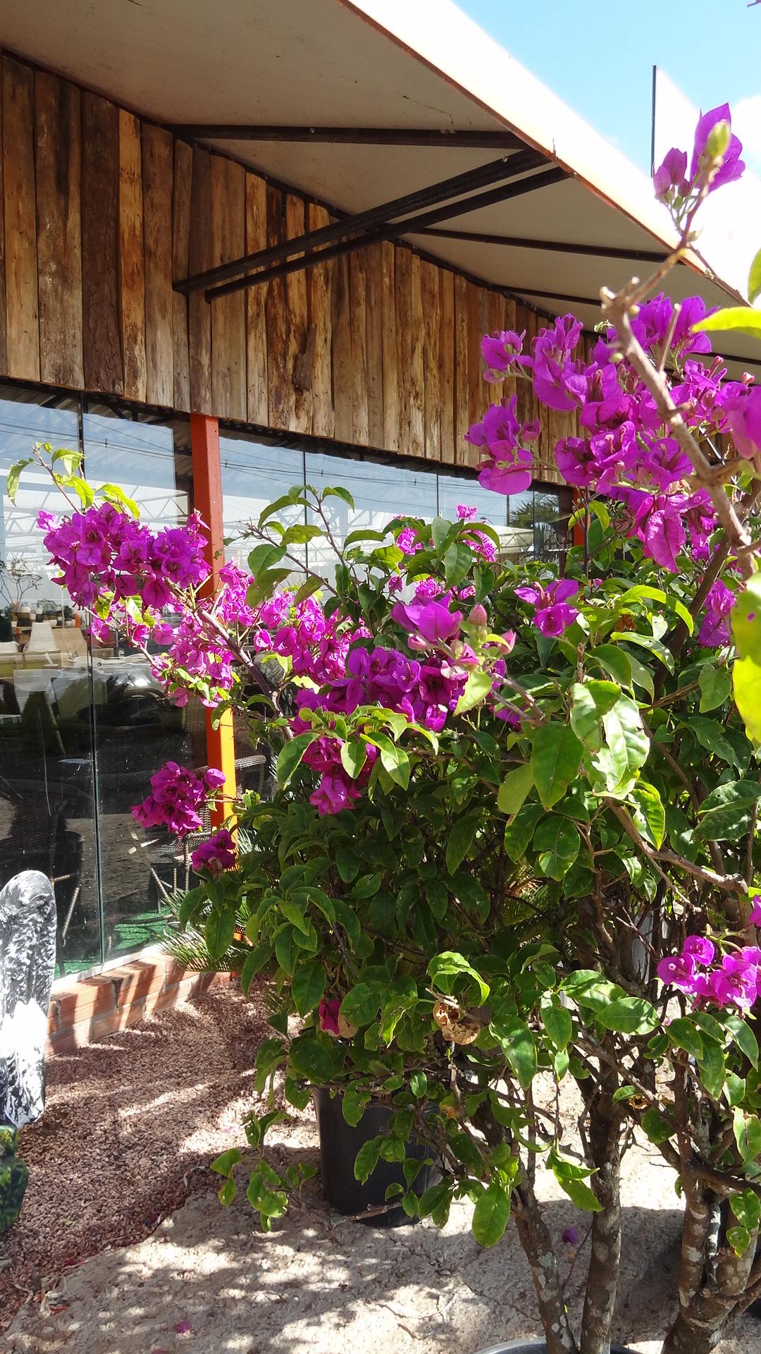 Bougainvillea no blog detalhes magicos