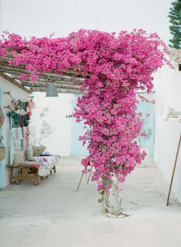 bougainvilleas-e-primavera